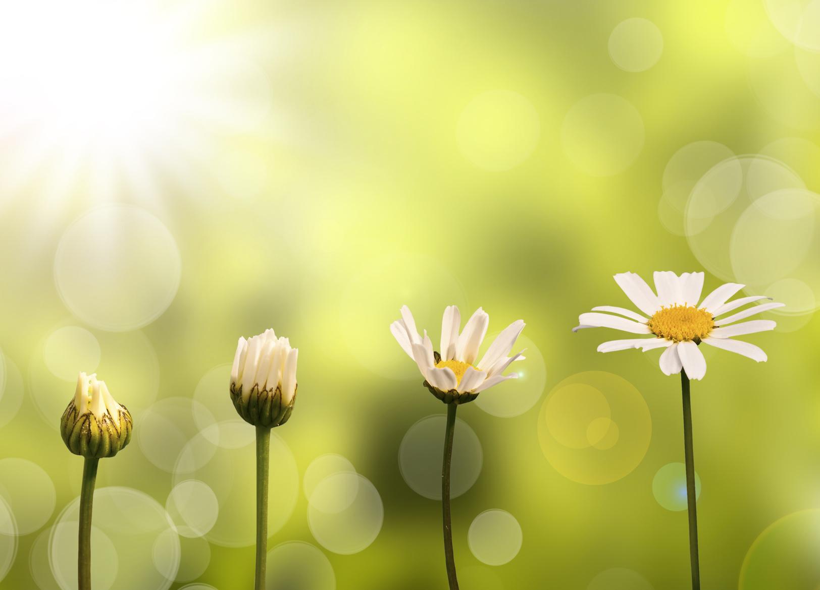 Margeritenblumen in verschiedenen Reifestadien